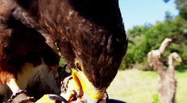 Falcon Eagle Perching On Mans Hand On A Sunny Day Royalty-free stock video
